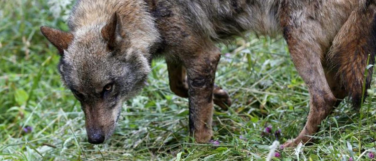 """La """"guerra"""" por el lobo a un paso de su protección"""