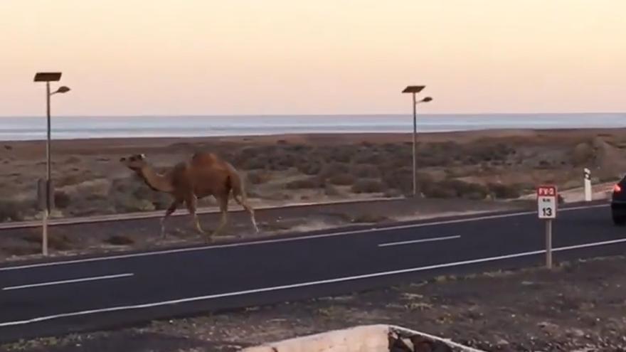 Localizan a un camello escapado en Fuerteventura