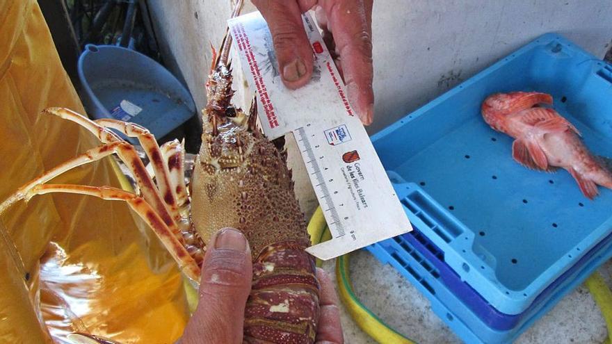 Los pescadores ibicencos capturan siete veces más langostas que hace un año