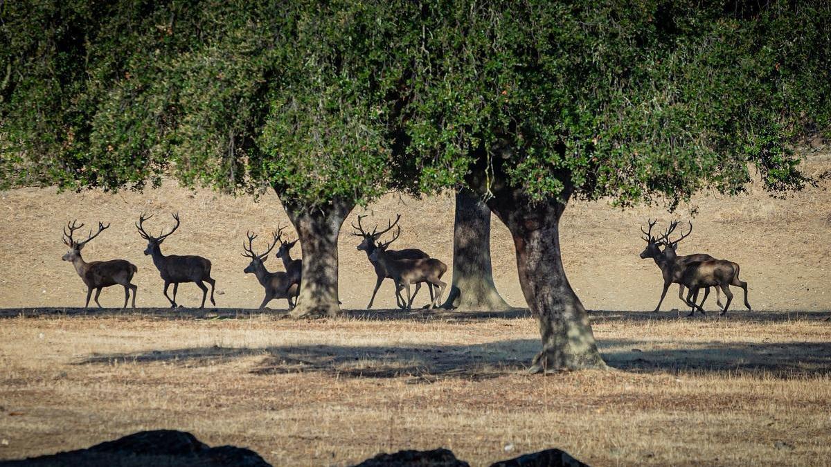 El cambio climático retrasa la berrea de los ciervos
