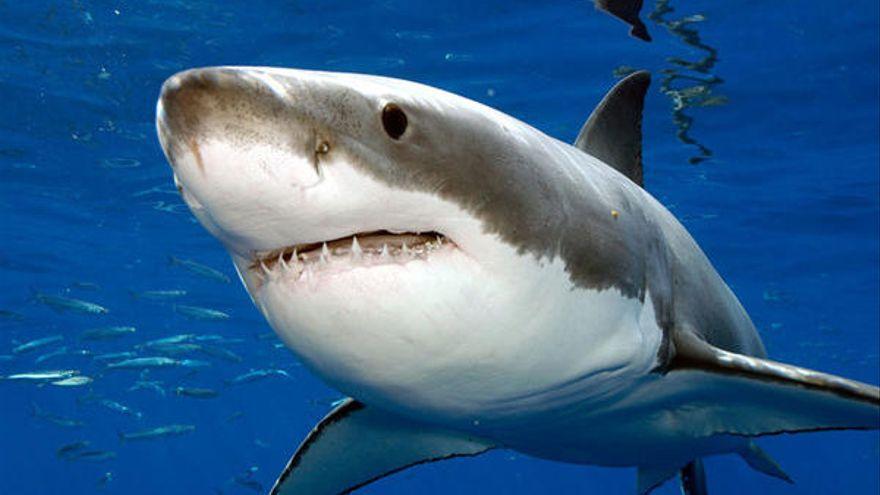 Confunde un tiburón blanco con uno inofensivo y se lanza al mar a nadar con él