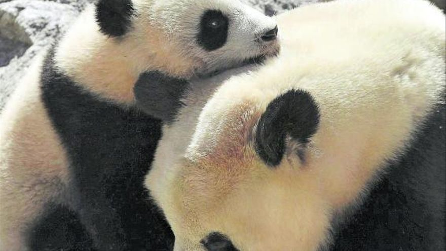 China celebra la salud del panda, su gran embajador