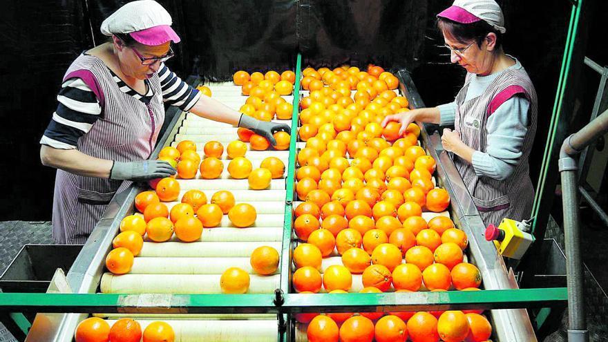 La producción de cítricos crecerá un 12 % durante esta campaña