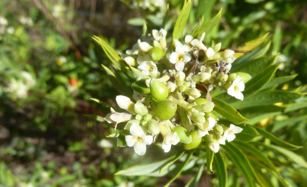 Torvisco. La Daphne gnidum es una planta arbustiva, con hojas en punta de espada, flores pequeñas blancas y agrupadas y frutos redondos y rojos. Es irritante.