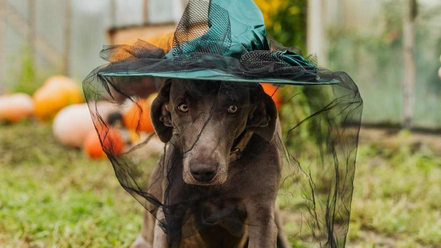 Los 20 disfraces de Halloween para perros más tiernos