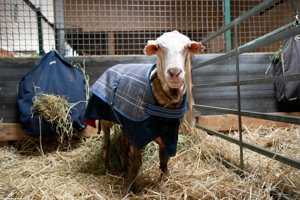 Troben una ovella salvatge amb 35 quilos de llana