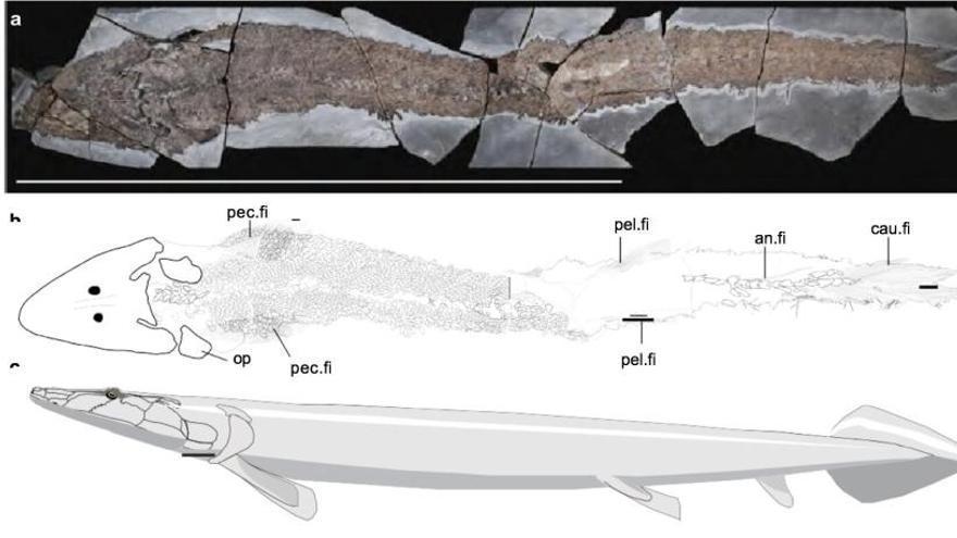 Encuentran el origen evolutivo de las manos humanas en un pez prehistórico