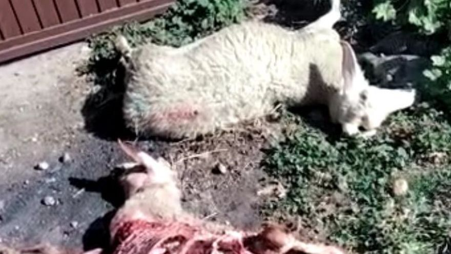 Los lobos atacan de nuevo en Molacillos