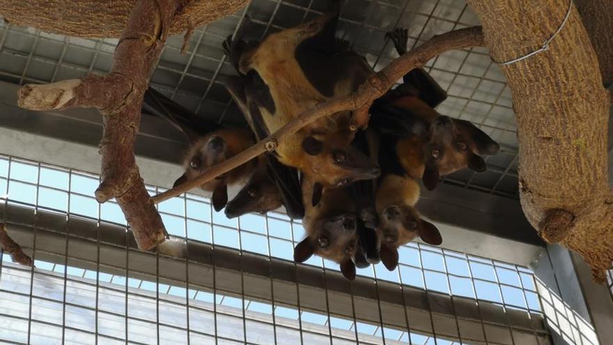 La Guardia Civil retira seis murciélagos de un zoo en Tenerife