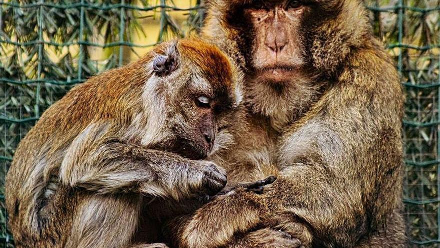 """El zoológico El Bosque pide ayuda económica para operar al macaco """"Charlie"""""""