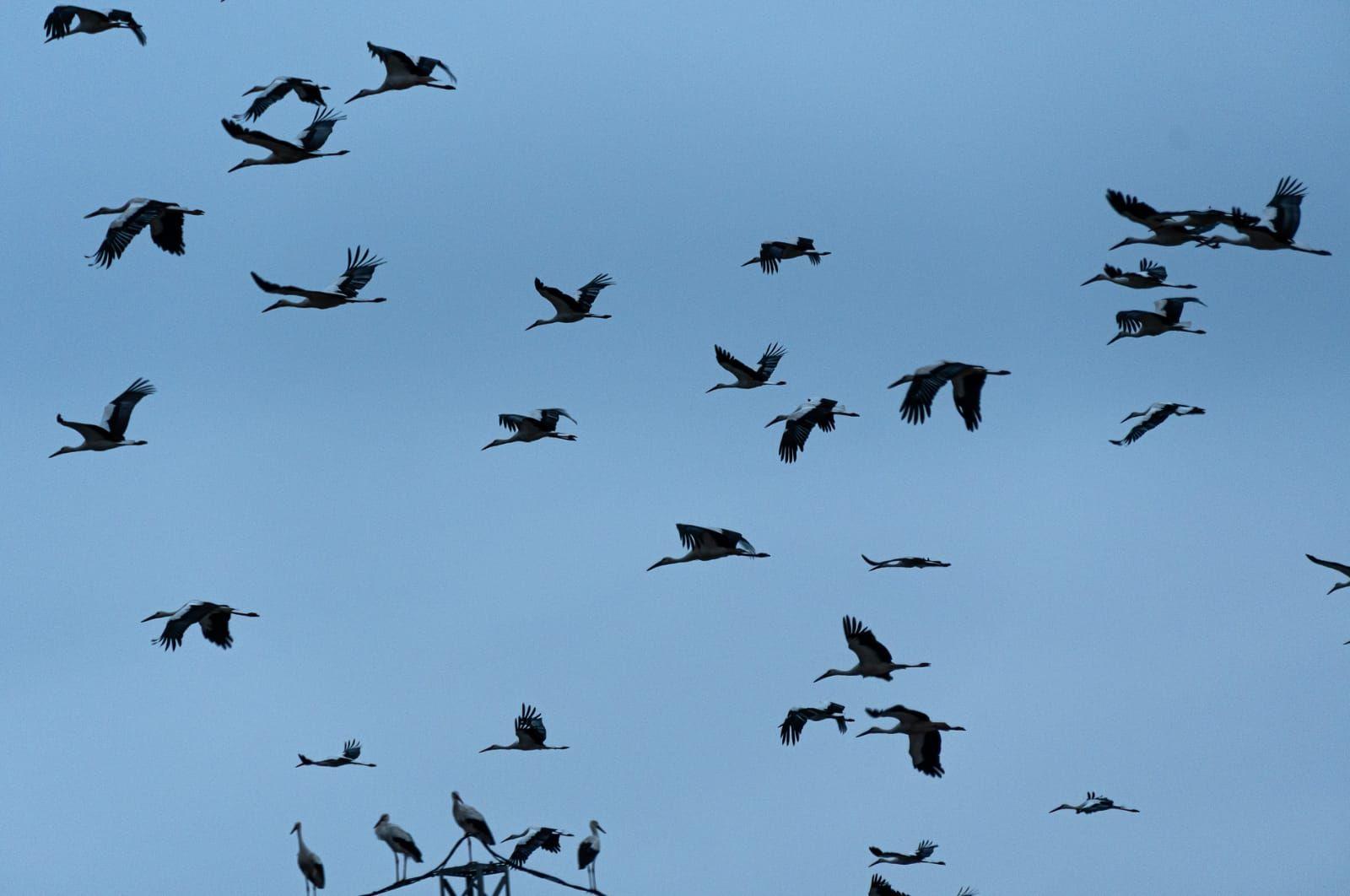 Un grup de cigonyes a Navàs