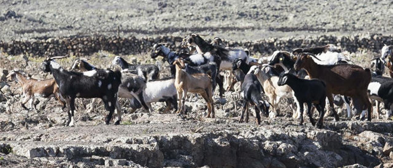 Un ganado de cabras en un corral de Fuerteventura.