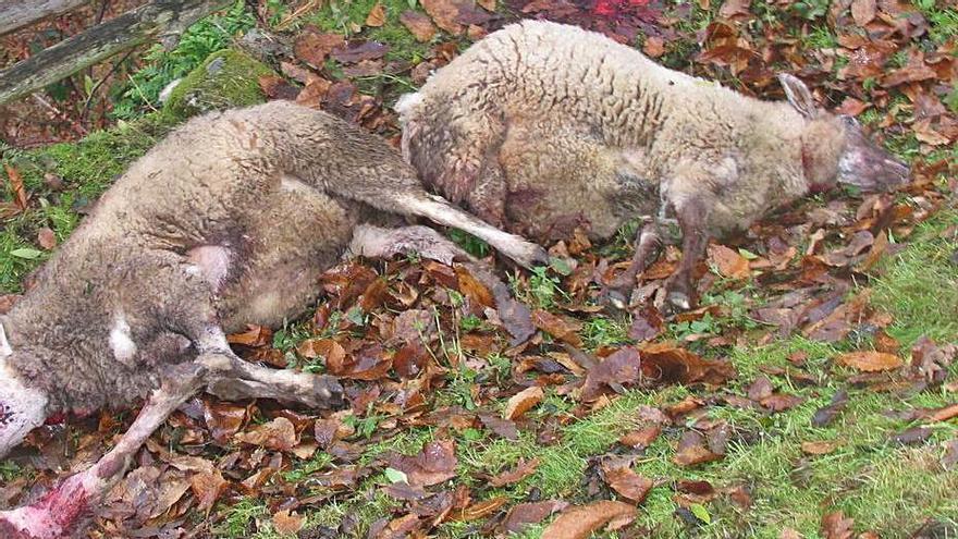 Ovejas muertas tras un ataque del lobo, en la localidad allerana de Boo.