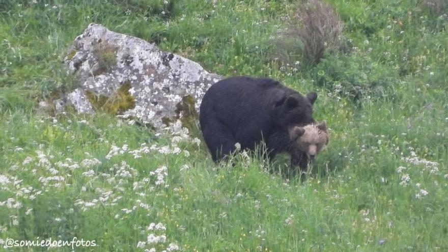 Avistamiento de osos en celo en Pola de Somiedo