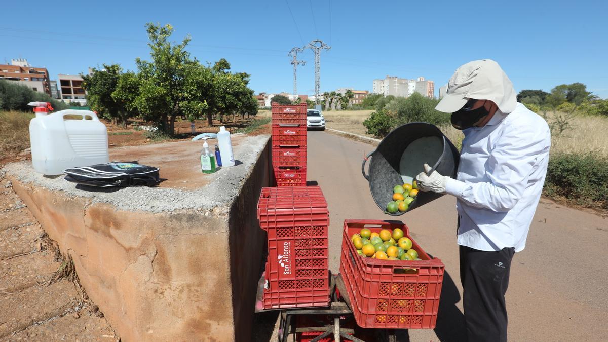 Imagen de recolección de cítricos en un campo de Castellón.