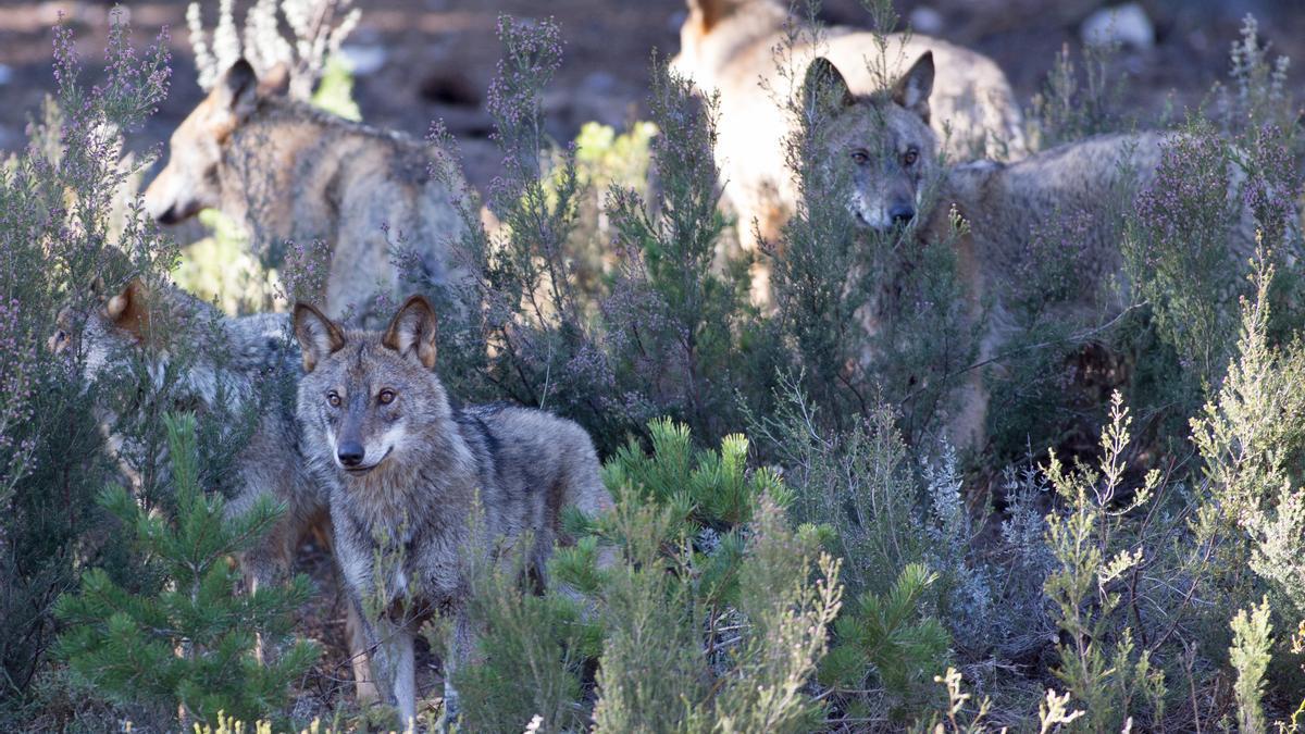 Archivo - Varios lobos ibéricos del Centro del Lobo Ibérico en localidad de Robledo de Sanabria (Zamora).