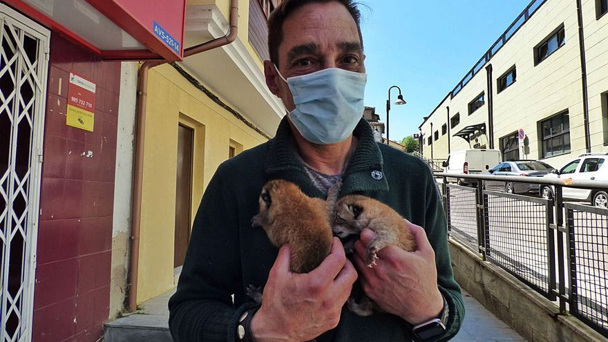 """Fallece """"Trasgu"""", la segunda de las tres crías de lince nacidas en Cangas del Narcea"""