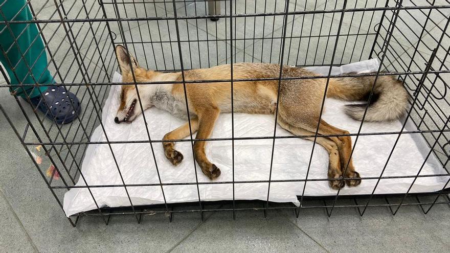 Curan y liberan a un zorro atropellado en Mutxamel