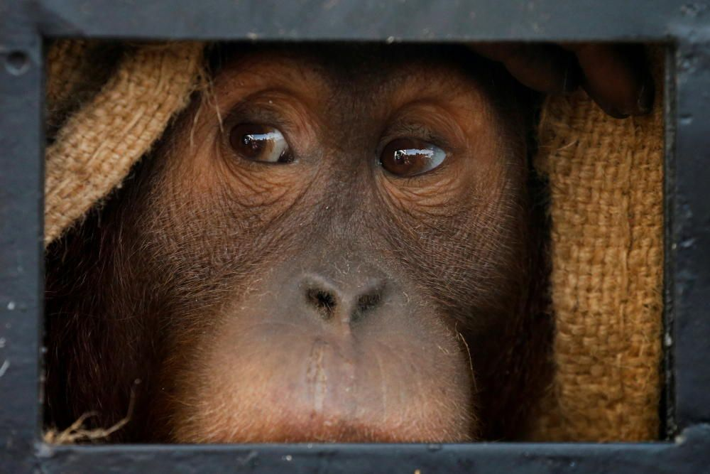 An orangutan, which was seized from the ...