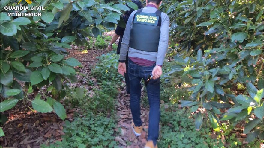La Guardia Civil investiga a tres grupos organizados que robaron 1,5 toneladas de aguacates