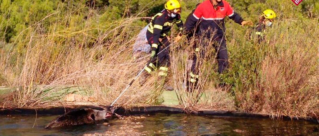 Rescatan a un jabalí que había caído a una balsa de riego de Calp
