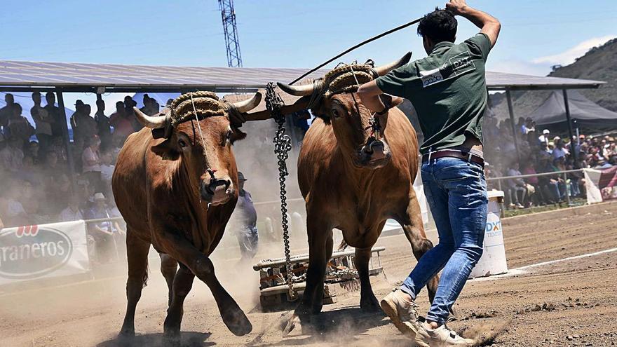 Un senador de Compromís denuncia como maltrato animal el arrastre de ganado