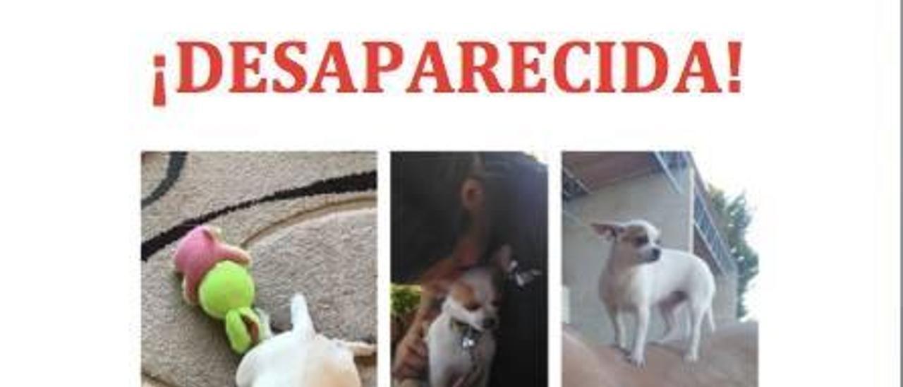 Mascota perdida en Arcenillas: Chipi