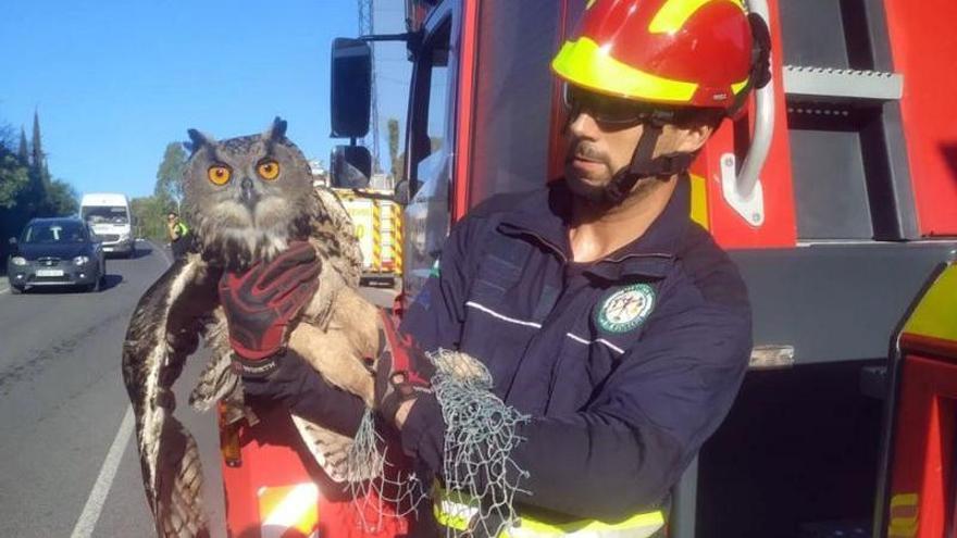 Rescatan a un búho real atrapado en la red de protección de un campo de golf de Marbella