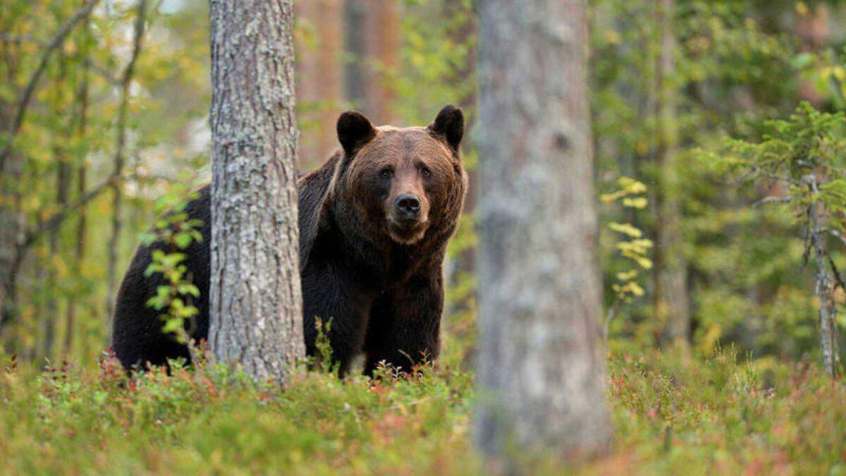 Los osos se comunican entre sí haciendo marcas en los árboles