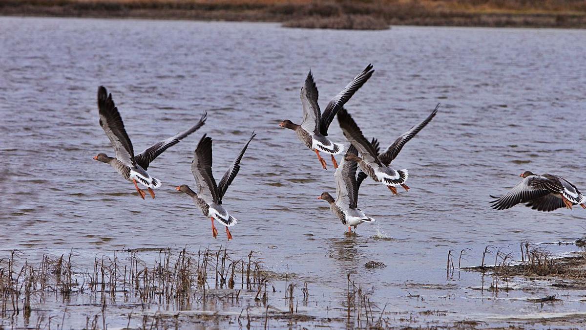 Un grupo de ánsares levanta el vuelo en una de las lagunas de la Reserva de Villafáfila. | J. F.