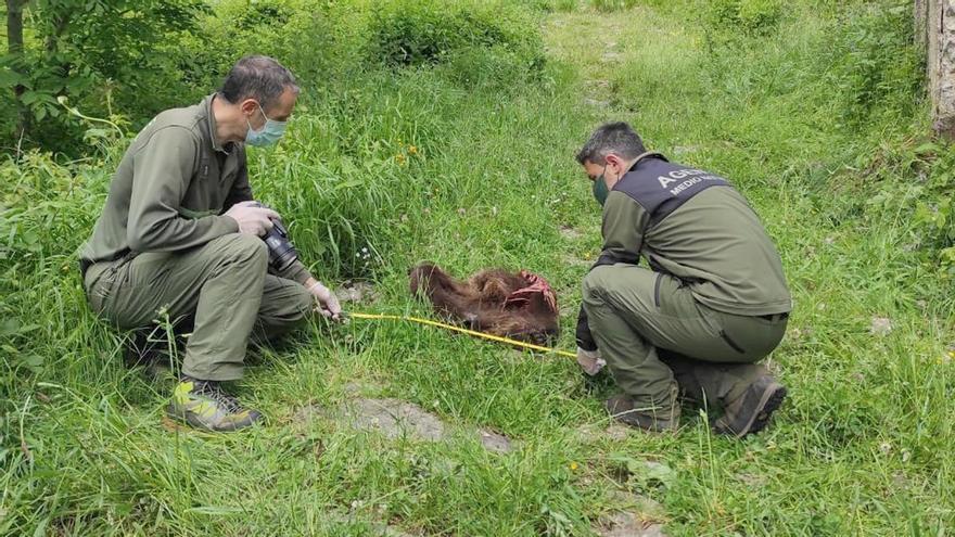Hallan muerto un oso joven en Somiedo