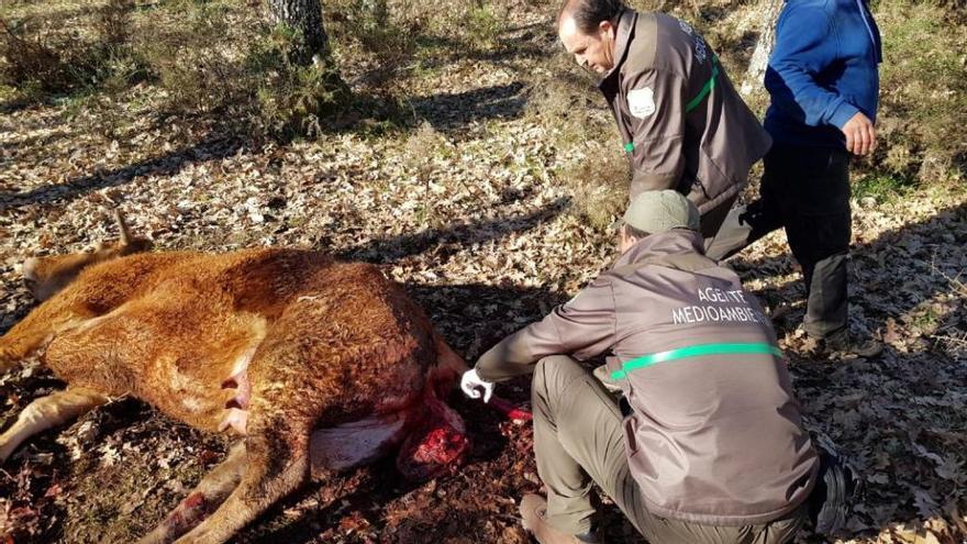 Agentes medioambientales observan la novilla muerta en Matellanes
