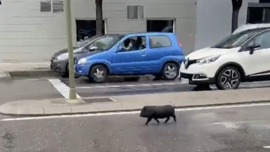 La lluvia de Castelló tampoco asusta a los cerdos vietnamitas