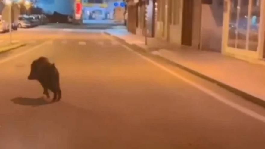 Un jabalí se salta el toque de queda para pasearse por Cangas