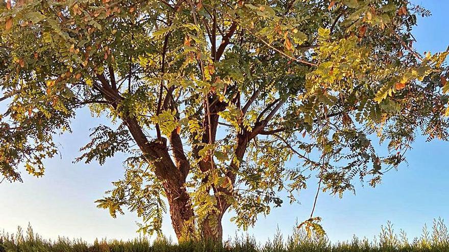 La tala en Corinto se reducirá a los 5 árboles que han levantado el asfalto