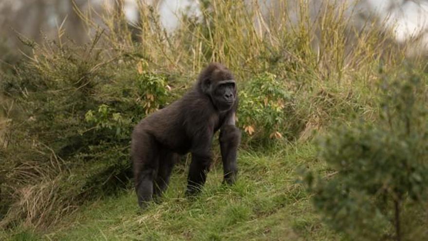 Descobreixen per què els goril·les es colpegen el pit