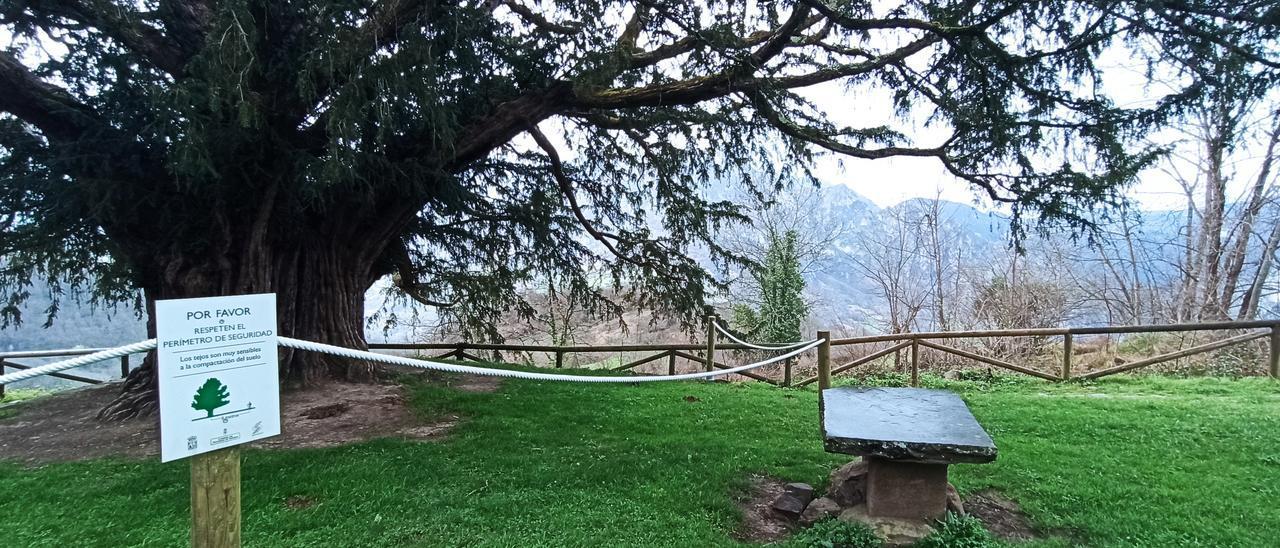 El tejo, ya con la protección para impedir que los visitantes se acerquen demasiado.