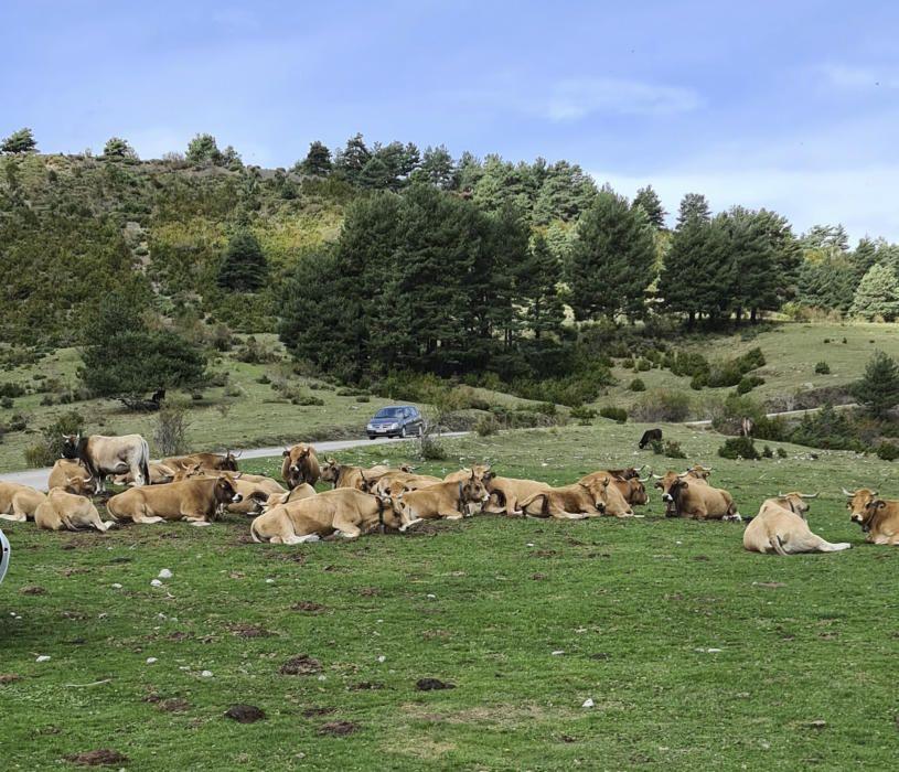 Vaques descansant.