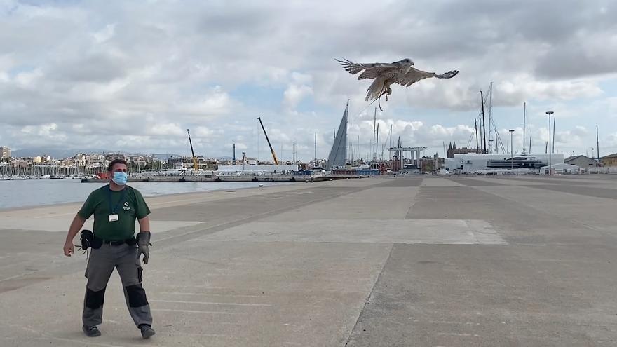 Águilas y halcones contra las gaviotas del puerto