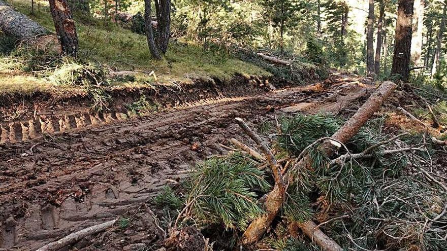 El Govern diu que la tala de Gisclareny és legal  i que no afecta el gall fer