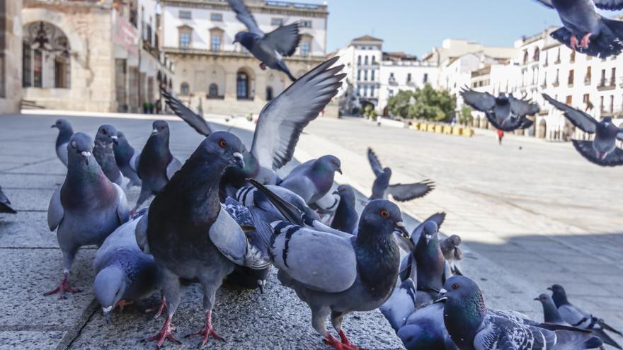 Cáceres sacará de sus calles a miles de palomas