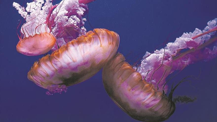 L'Oceanogràfic, primer aquari que cria 'Ortigues del Pacífic'