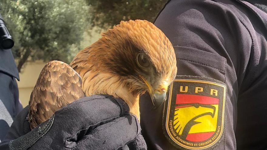La Policía Nacional rescata a un ejemplar de águila calzada en La Palmilla