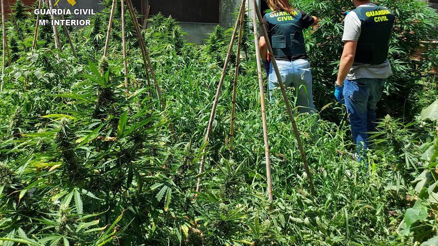 Desmantelan en una casa de Benicarló un cultivo de marihuana con 600 plantas