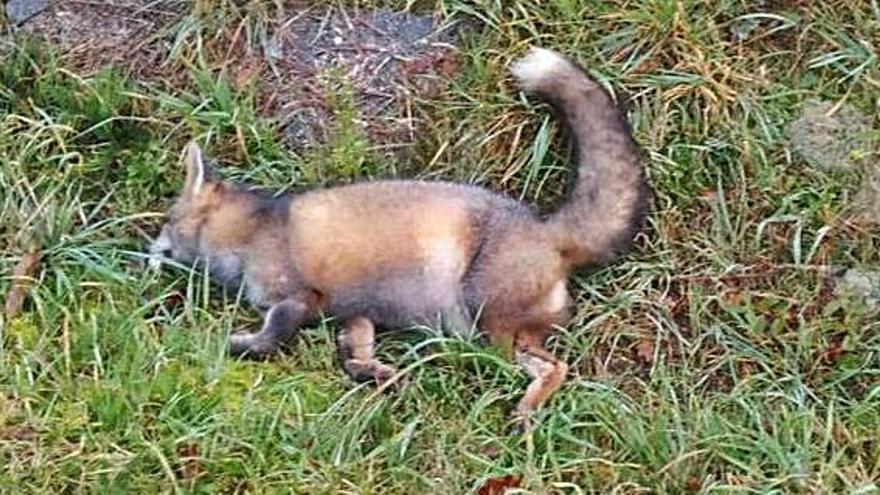 Lalín solicita la recogida de dos zorros muertos en la PO-533