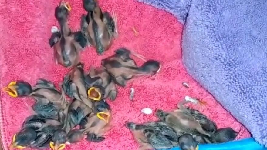 Rescatan una treintena de polluelos de gorrión tras la poda del árbol donde anidaban
