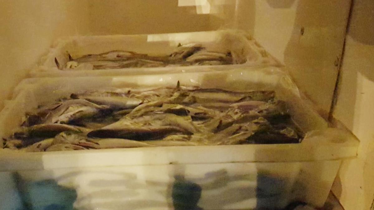 Intervenidos más de 120 kilos de merluza de pequeño tamaño ocultos en una furgoneta en Bueu