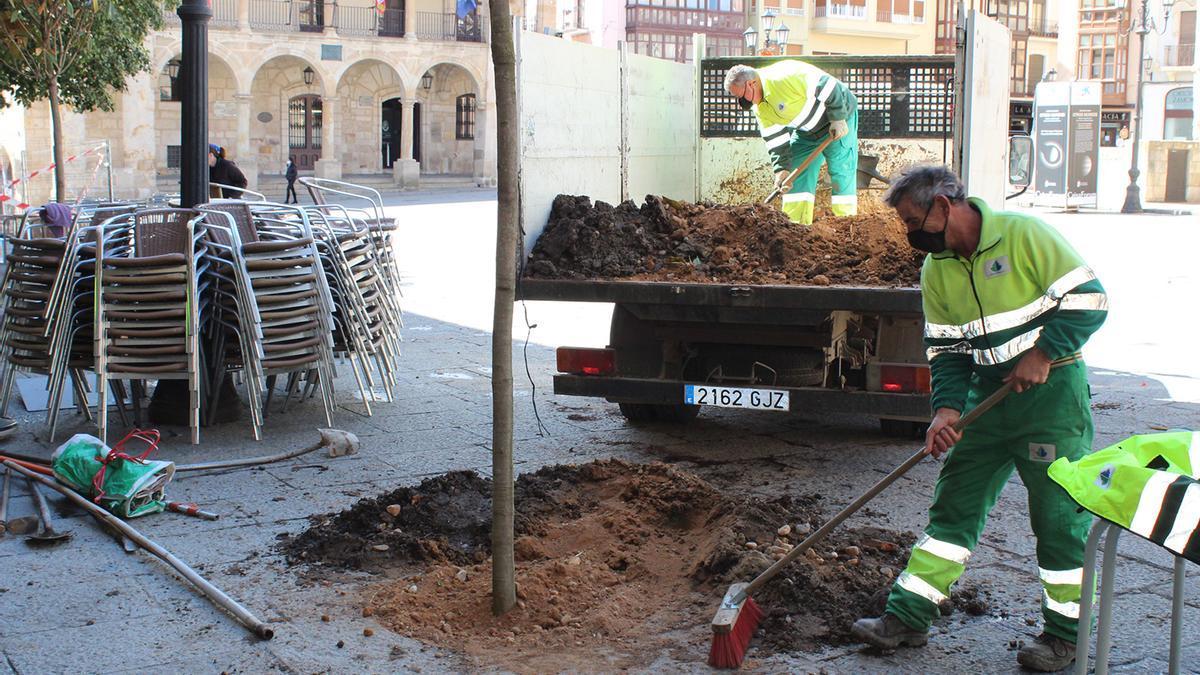Un operario planta un magnolio en la Plaza Mayor