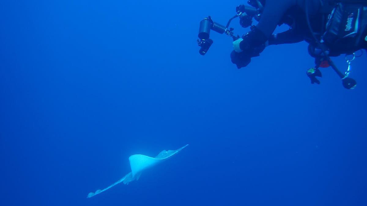 Un buzo fotografía a una raya en el Mediterráneo durante una inmersión.