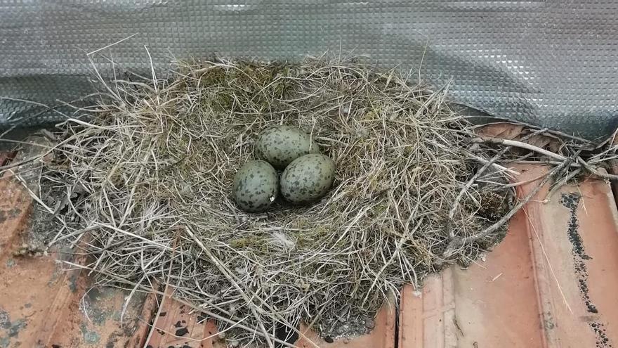 El Concello ya retiró casi doscientos nidos de gaviotas este año